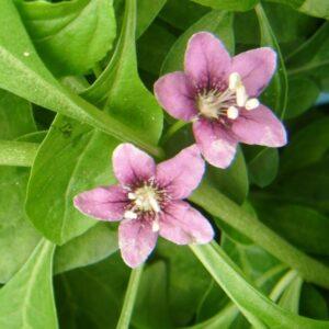 goji-květ