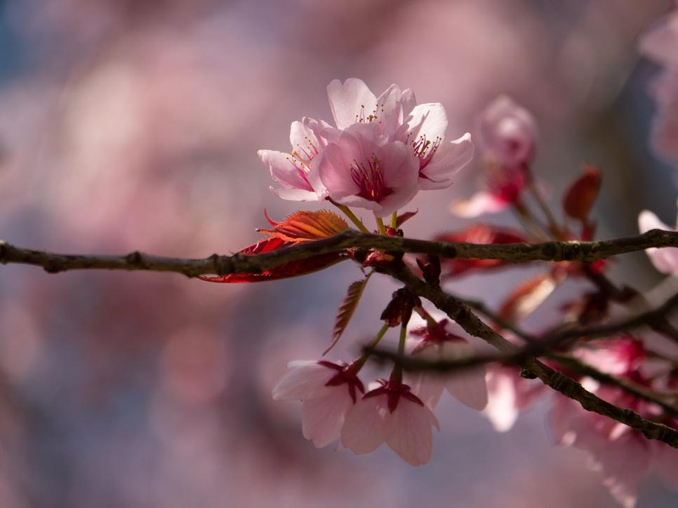 višeň-květ
