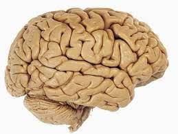 mozek model