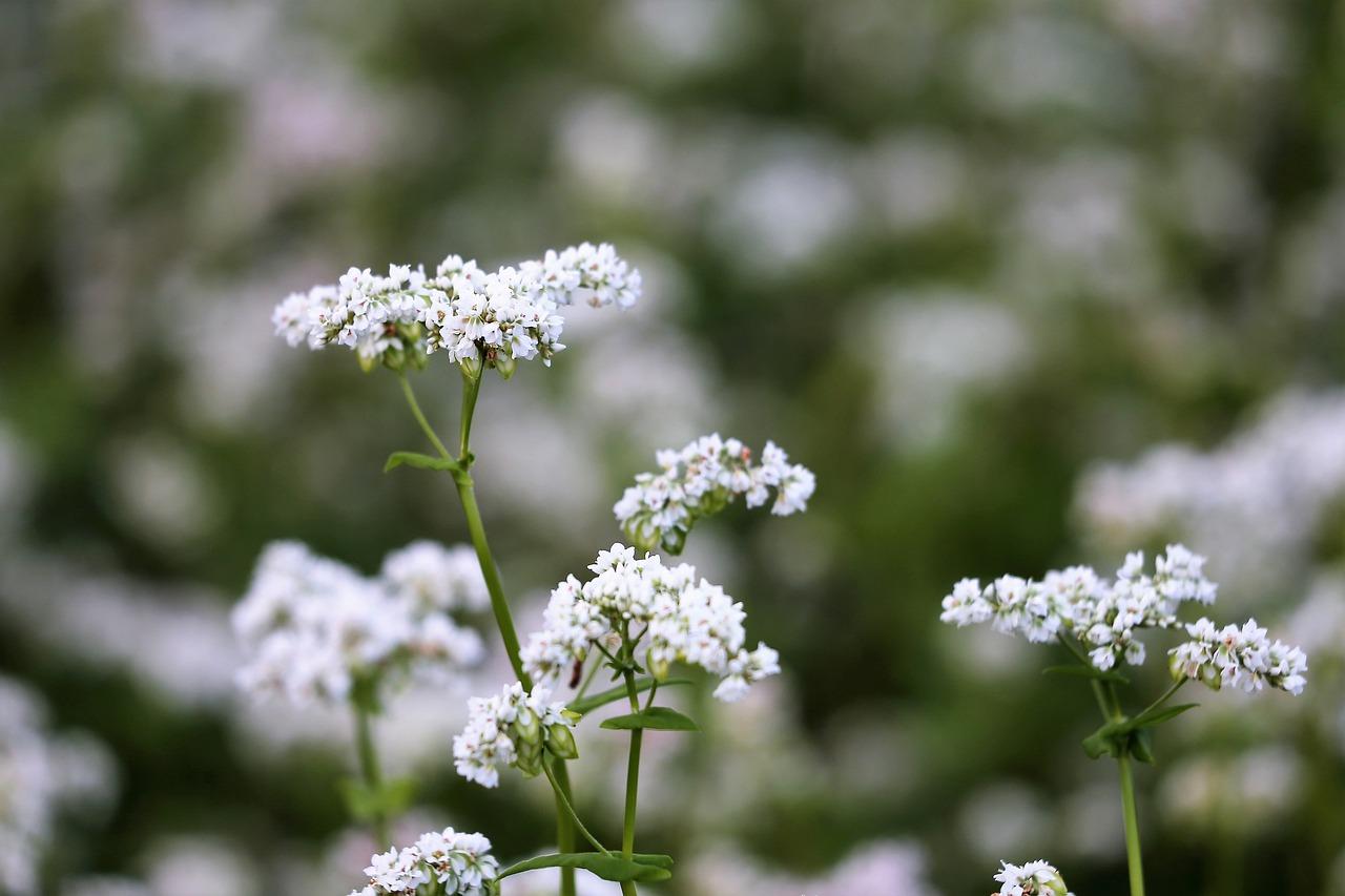 Pohanka-kvet