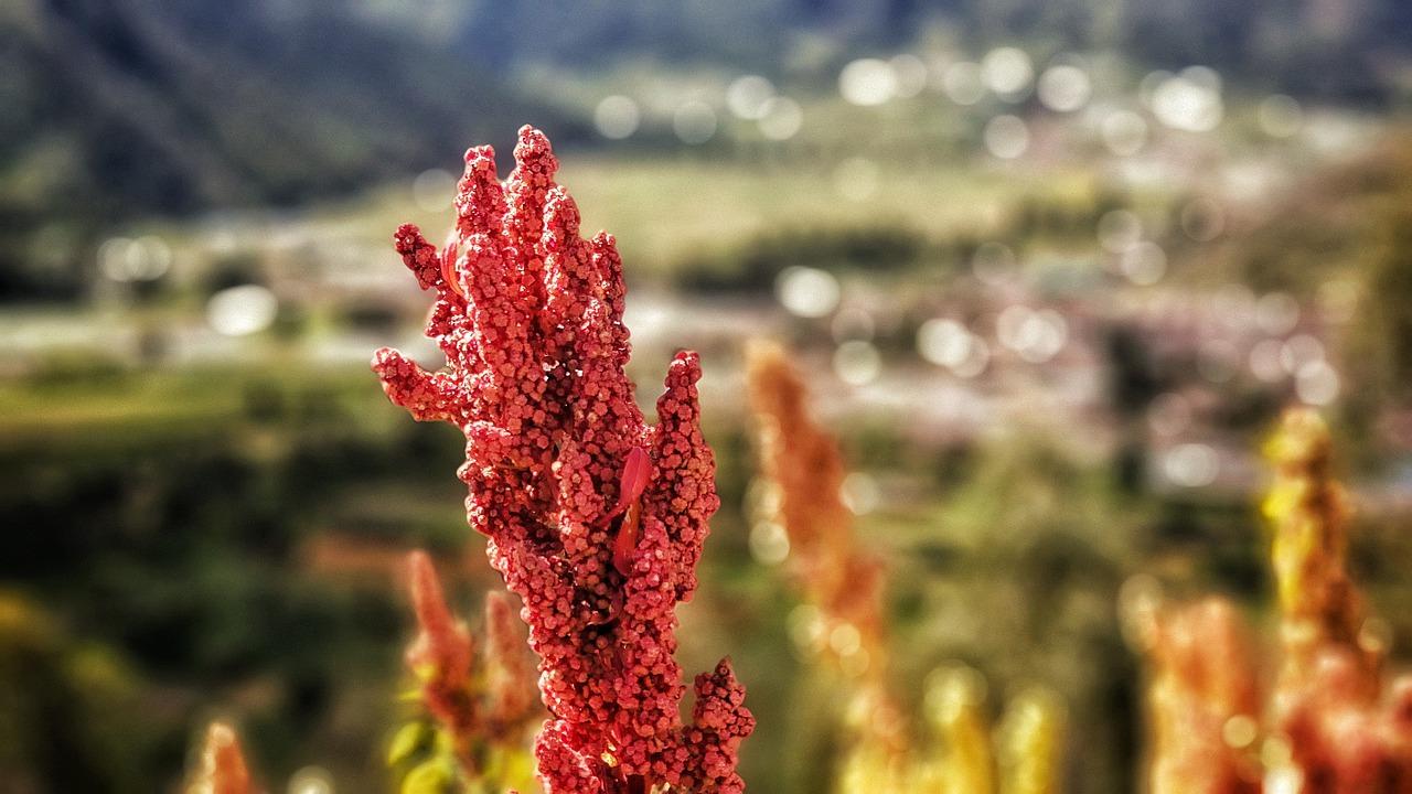 quinoa-rostlina