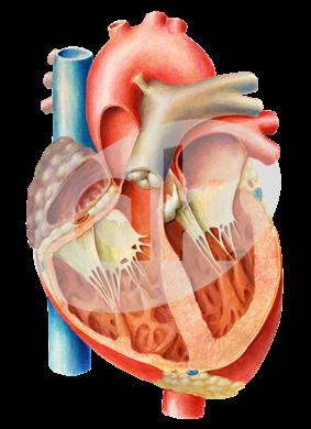 srdce-řez